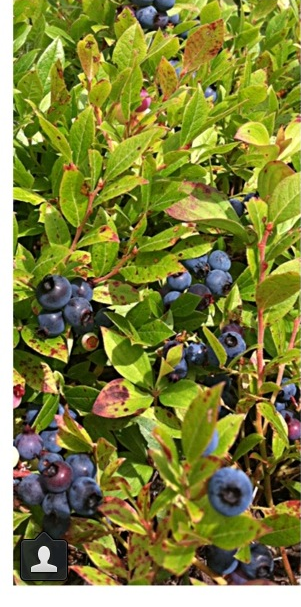 Andria picked Blueberries in the Keweena Peninsula