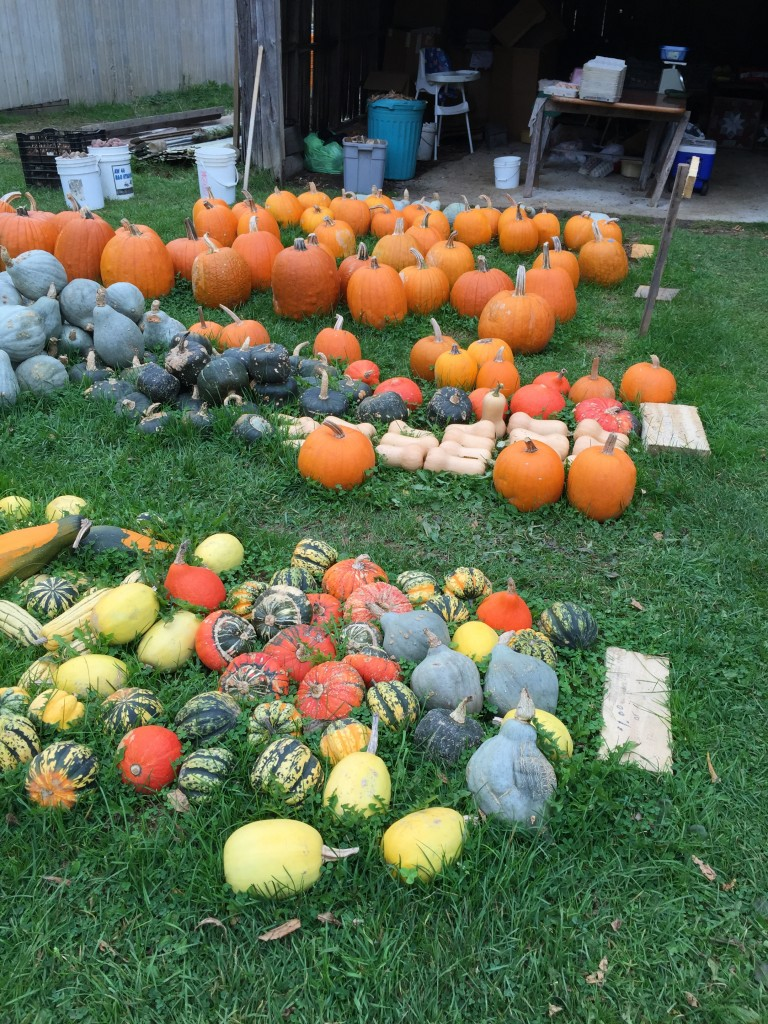 Front: spaghetti squash, buttercup and gourds. MIddle row: sugar pumpkin, butternut; hubbard squash and butternut.